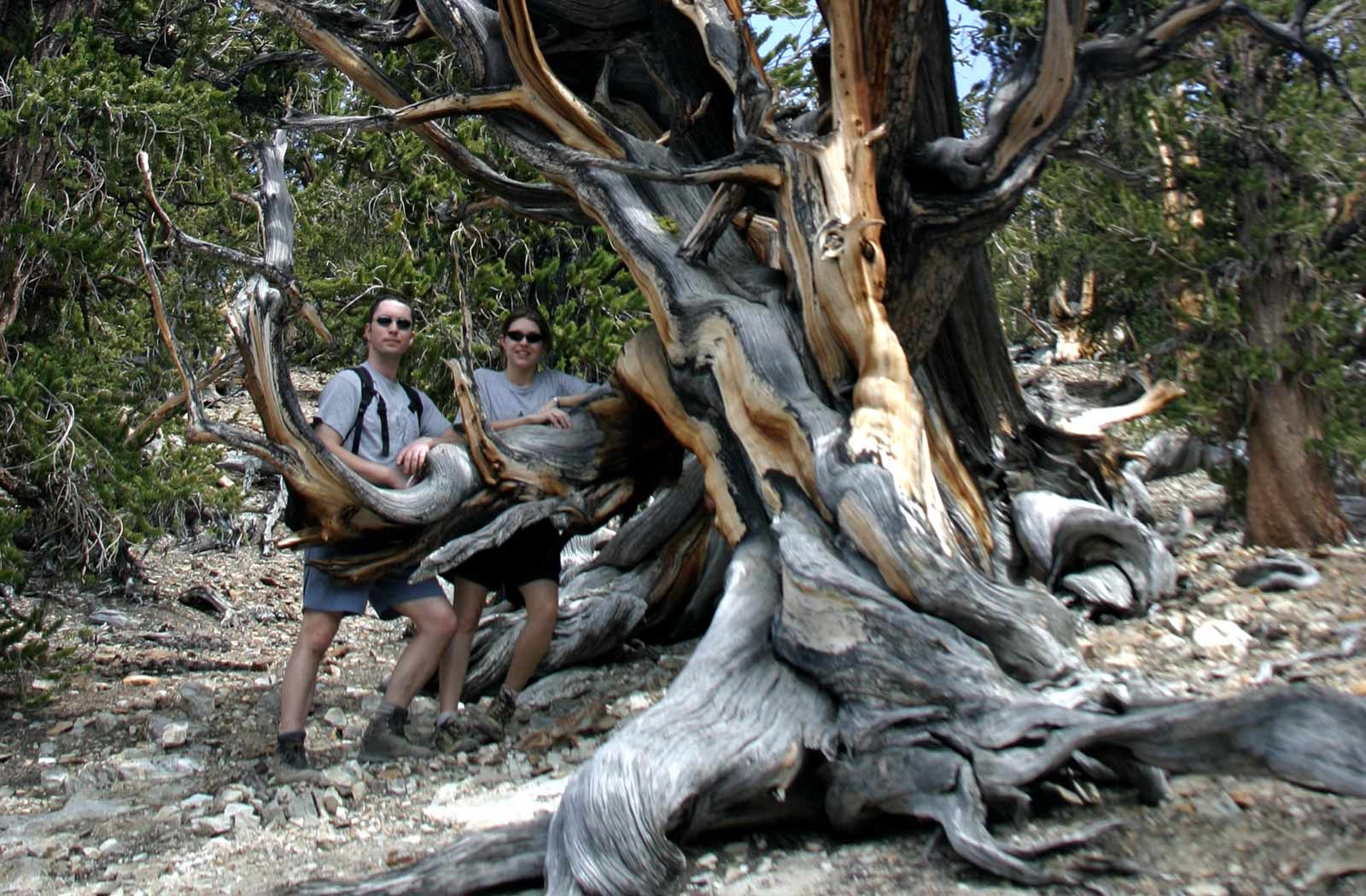 encounter nature bristlecone pine