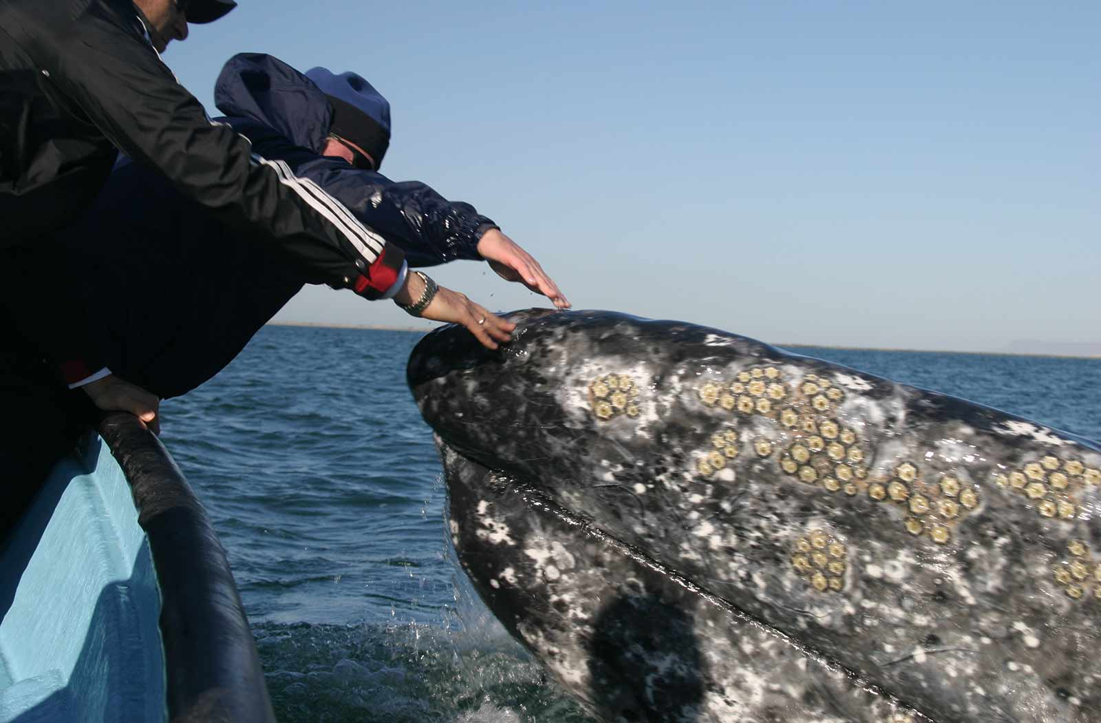 friendly gray whales of baja
